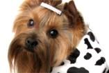 Nasi pupile w modnych fatałaszkach - ubranka dla psów